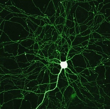 neurons